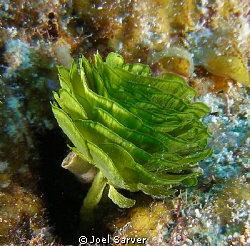Pinecone Alga-Cozumel by Joel Sarver 